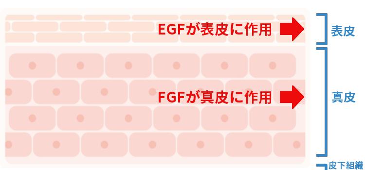 egf fgf エイジングケア